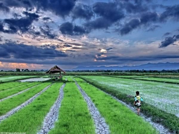 2-Рисовое поле в Таиланде.jpg