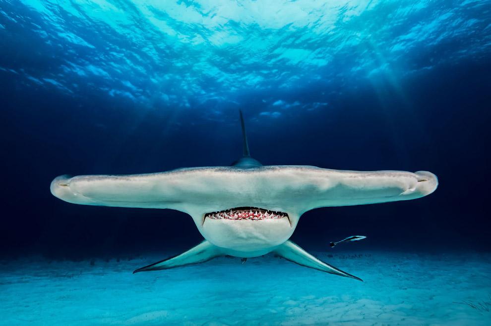 Портрет акулы-молот