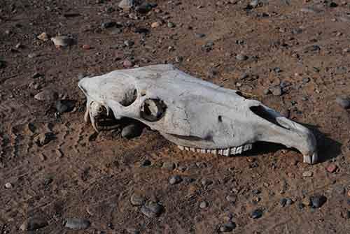 Horse_Skull_side