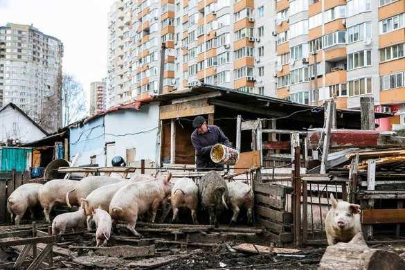 Будни европейской Украины: свиноферма среди киевских высоток (ФОТО) | Русская весна