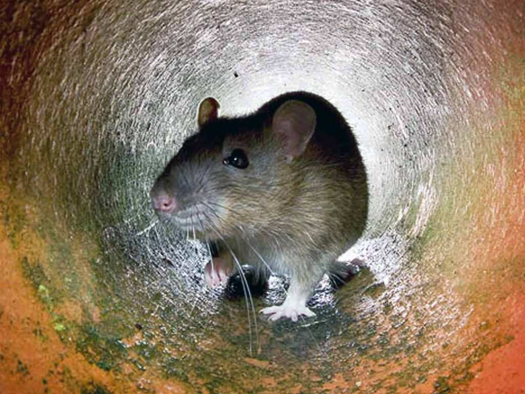 Украина: крыс полно, крысолова нет | Русская весна
