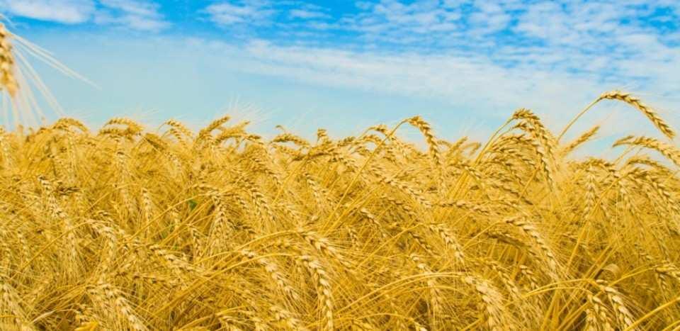 Урожай в Приазовье ДНР начал созревать ускоренными темпами | Русская весна