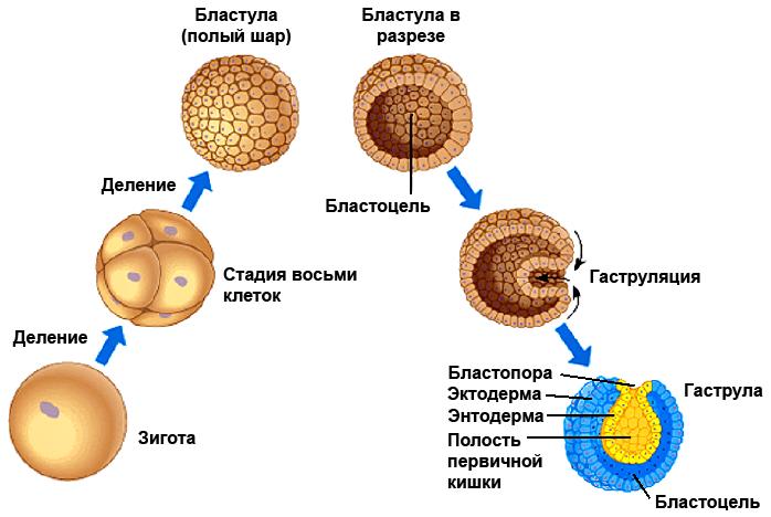 """Résultat de recherche d'images pour """"Энтодерма"""""""