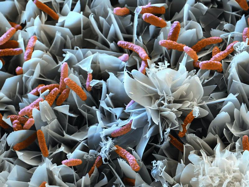 Бактерии ацидоворакс