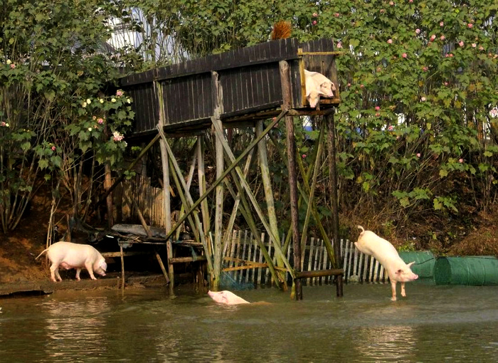 Большое количество свиней. | Фото: 24ur.com.