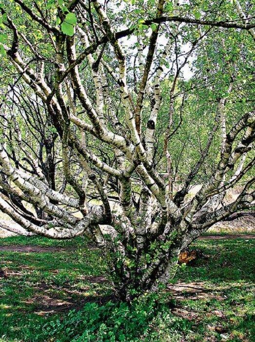 Карельская береза – загадочное дерево северных лесов